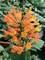 Agastache Poquito Orange