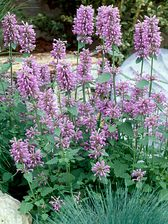 Agastache Rose Mint