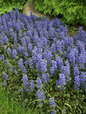 Ajuga Bronze Beauty
