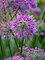 Allium Lavender Bubbles
