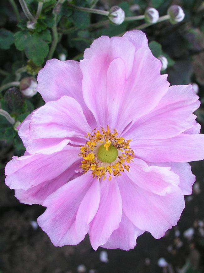 Anemone Alice