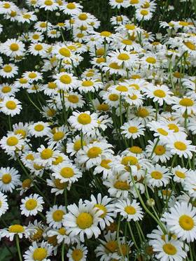 CHAMOMILE. White flowers  with yellow centers.