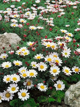 A nice long blooming white daisy, great along a walkway.