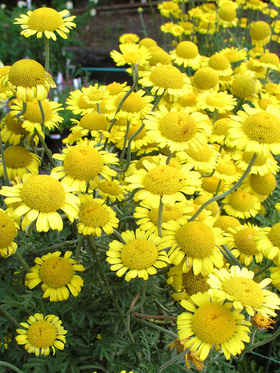 Bold yellow blooms with yellow centers