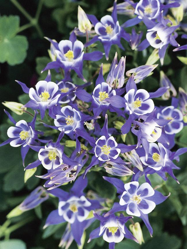Aquilegia Winky Series Blue and White