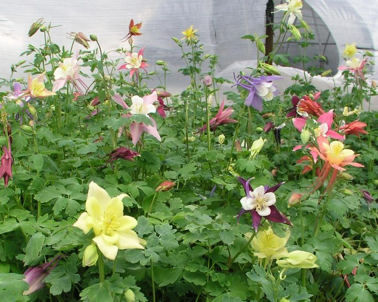 Product Viewer Aquilegia Dragonfly Hybrids