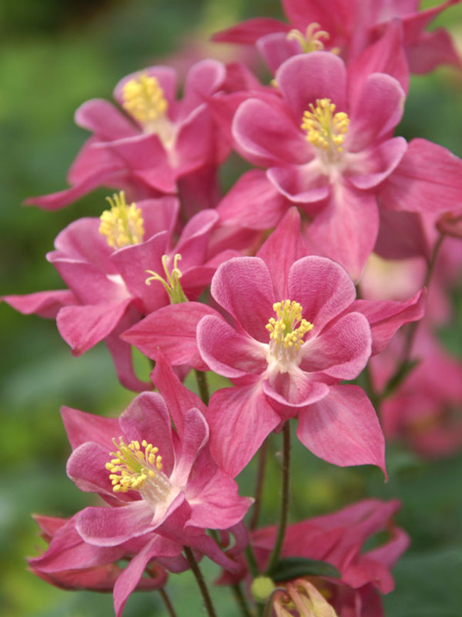 Aquilegia Winky Series Rose