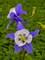 Aquilegia Songbird Blue Jay