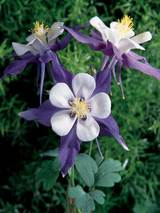 Aquilegia Swan Violet and White
