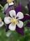 Aquilegia Swan Violet and White