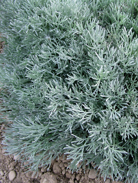 White filigree foliage. Improved Silver Mound