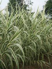 Arundo Peppermint Stick