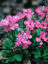 Arabis Red Sensation