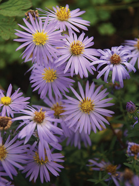 A shorter choice for Fall Asters