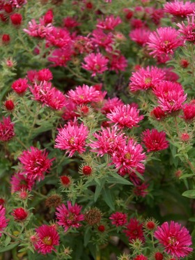 Warm red-pink. Stately plants with masses of flowers