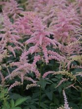 Astilbe Bressingham Beauty