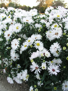 Aster perennials flower perennial asters aster bonningdale white mightylinksfo