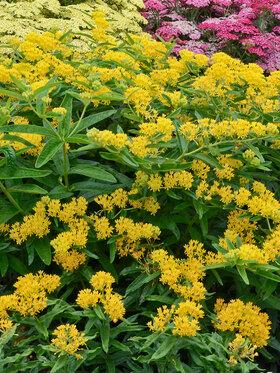 Photo of Asclepias Hello Yellow