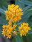 Asclepias Hello Yellow
