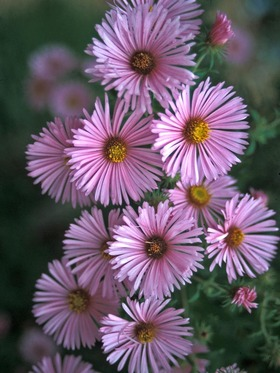 New England Aster. Robust pink bloomer