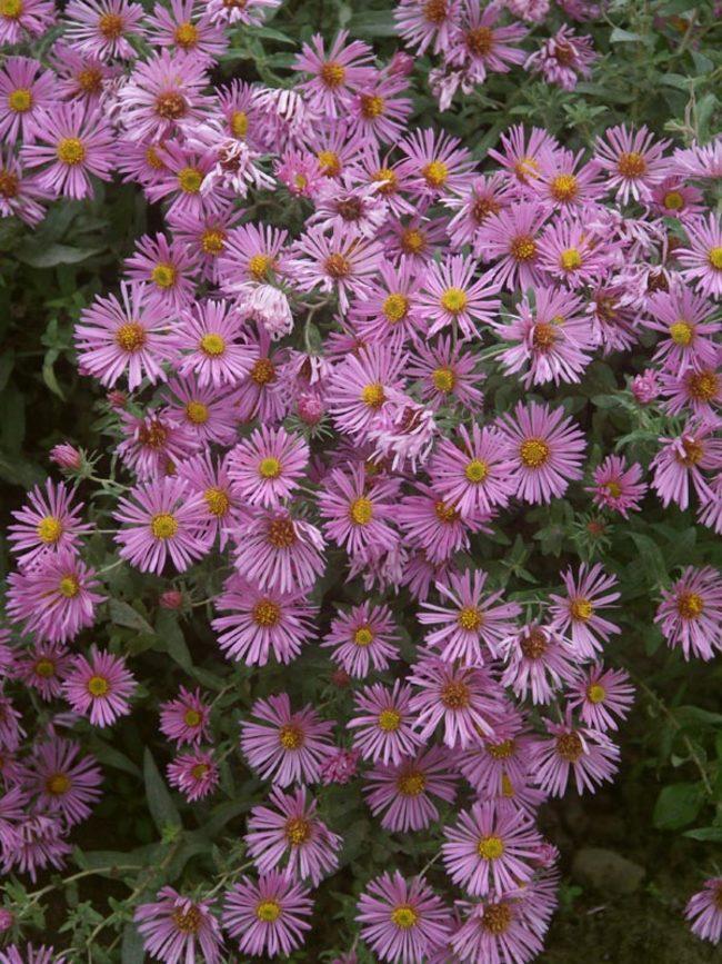 Aster Honeysong-Pink