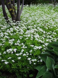 Groundcovers perennials plants bluestone perennials groundcover plants mightylinksfo