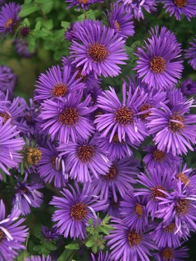 Compact and free flowering. A stunning deep purple