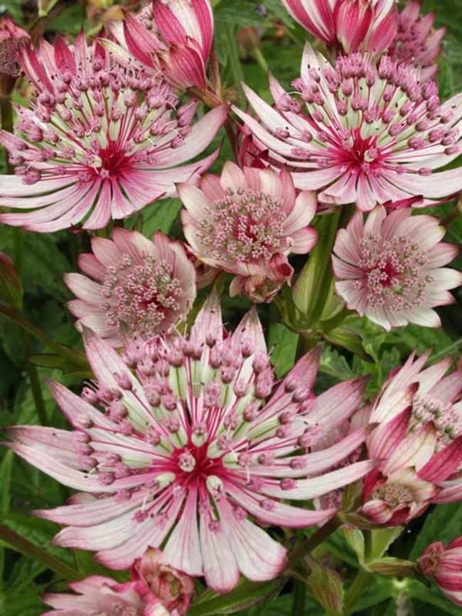 Astrantia Sparkling Stars Pink