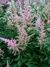Astilbe Peaches and Cream