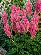Astilbe Rise and Shine