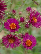 Aster September Ruby