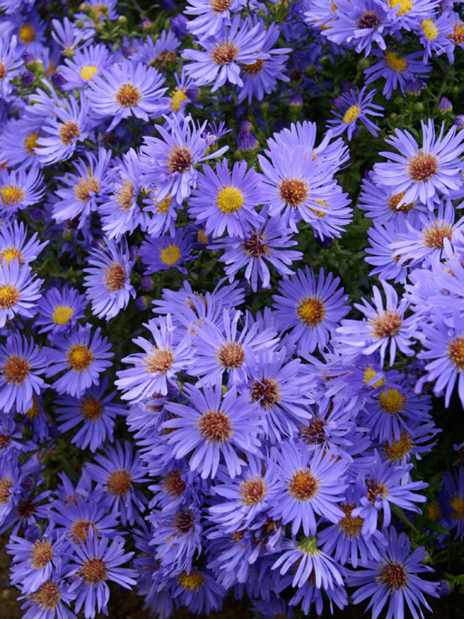Aster Woods-Blue