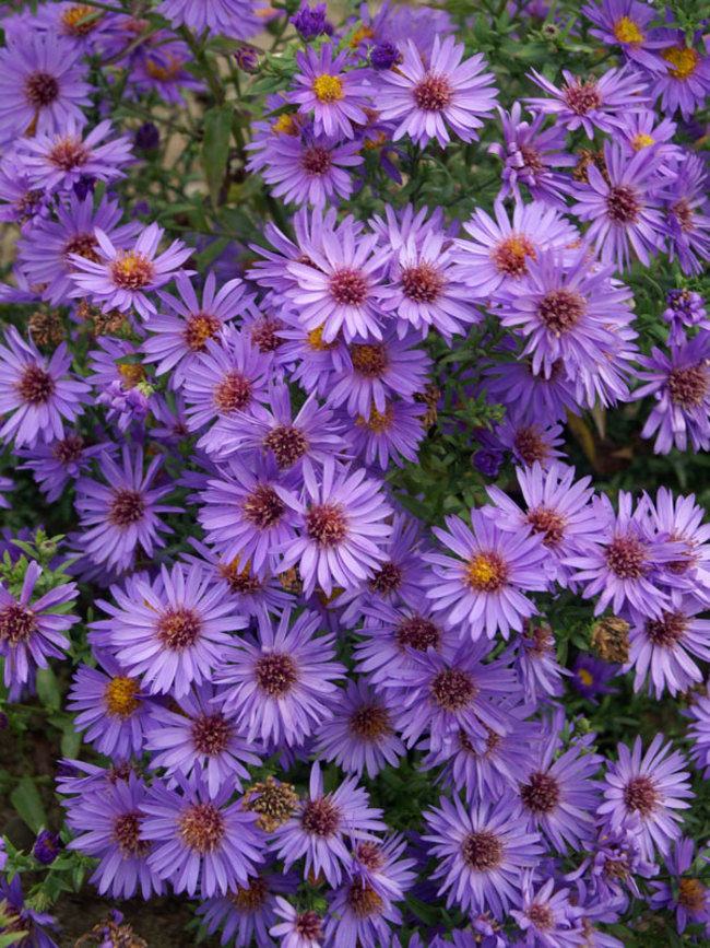 Aster Woods-Purple