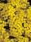Aurinia Summit Golden Yellow