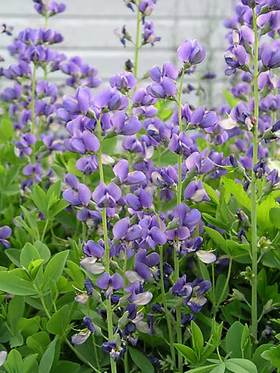 blue lupine-like flowers in early summer.