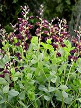 Baptisia Dutch Chocolate