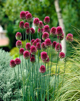 Allium Drumsticks