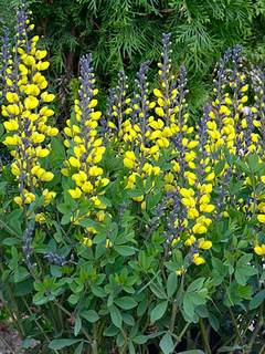 Yellow flowering perennials mightylinksfo
