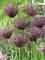 Allium Miami