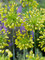 Allium Yellow Fantasy