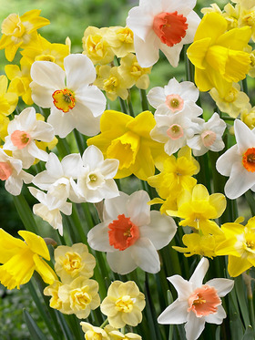 A striking combination of several colors and varieties of daffodils; 16 bulbs