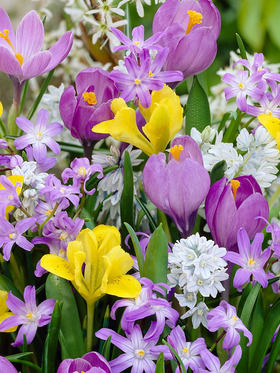 A mix of violets, yellows and whites; 32 bulbs