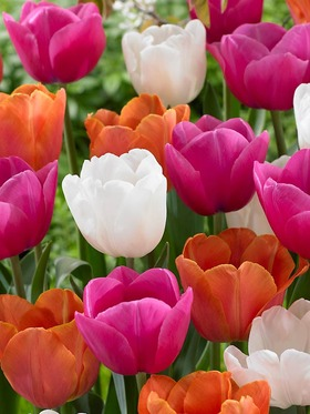 A blend of tulips in bright pink, orange and white; 15 bulbs.