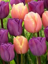 Tulip Magic Charm Blend