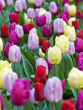 A mix of red, purple, pink and yellow tulips, 15 bulbs