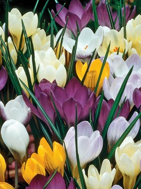 A colorful collection of Species Crocus. 35 bulbs