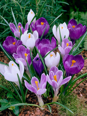"Purple, white & lilac, first sign of spring, 4-6"", 40 bulbs"