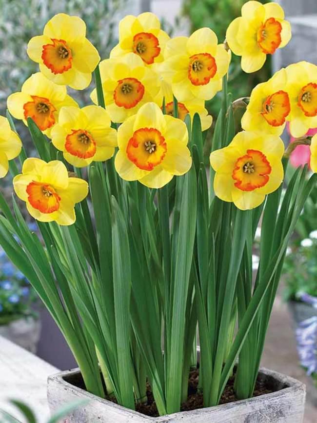 Daffodil Bantam