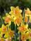 Daffodil Blushing Lady