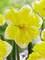 Daffodil Banana Splash